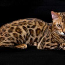 En Australia plantean extinguir a la especie de los gatos salvajes