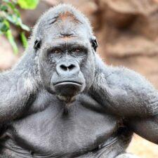 Los gorilas arriesgan sus dientes comiendo nueces