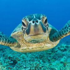 Las tortugas verdes comen plástico porque lo confunden con su alimento