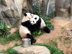Cuarentena propicia apareamiento de osos panda en Hong Kong