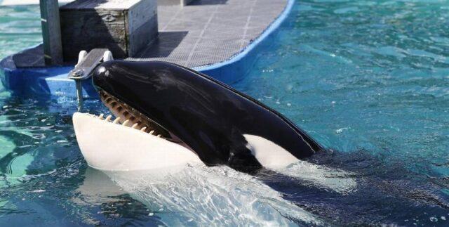 Activistas piden la liberación de la orca Lolita
