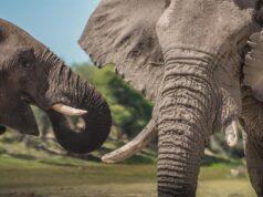 Machos viejos siguen siendo líderes en las sociedades de elefantes