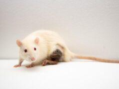 El Sumario - Los ratones recién nacidos tienen la capacidad recordar a sus madres