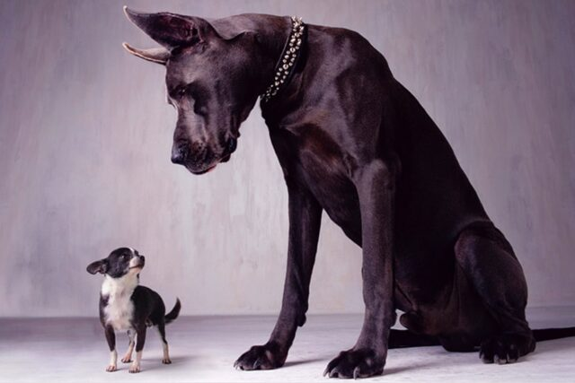 El Sumario - Mira la adorable amistad entre una gran danés y una chihuahua