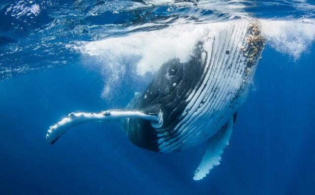 El Sumario - Fotógrafo capta a juguetona ballena realizando acrobáticos movimientos