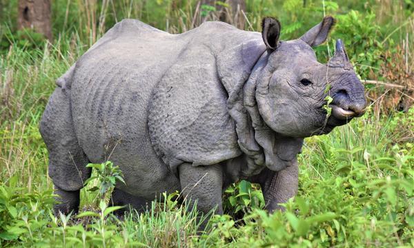 Población de rinocerontes en Nepal aumentó debido al Covid-19