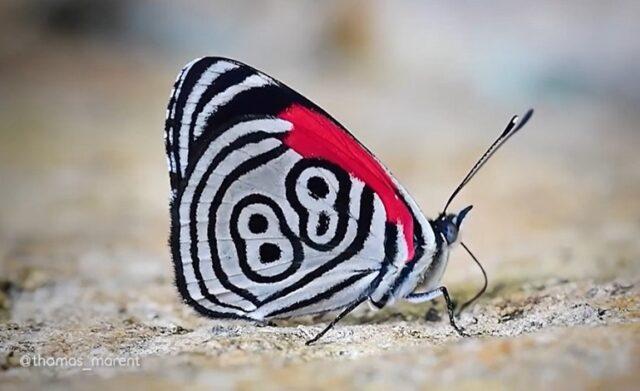 El Sumario - ¿Qué significa el número 88 dibujado en las alas de esta mariposa?