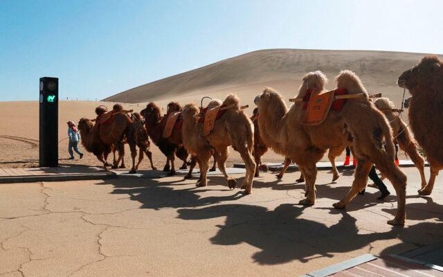 China creó su primer semáforo para los camellos