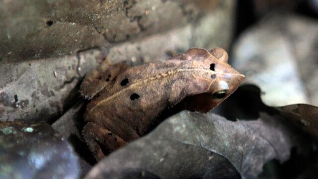 El Sumario - Hallan una rana del tamaño de un bebé en las Islas Salomón
