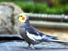 El Sumario - Wilbur, la adorable cacatúa que completa canciones silbando sus melodías