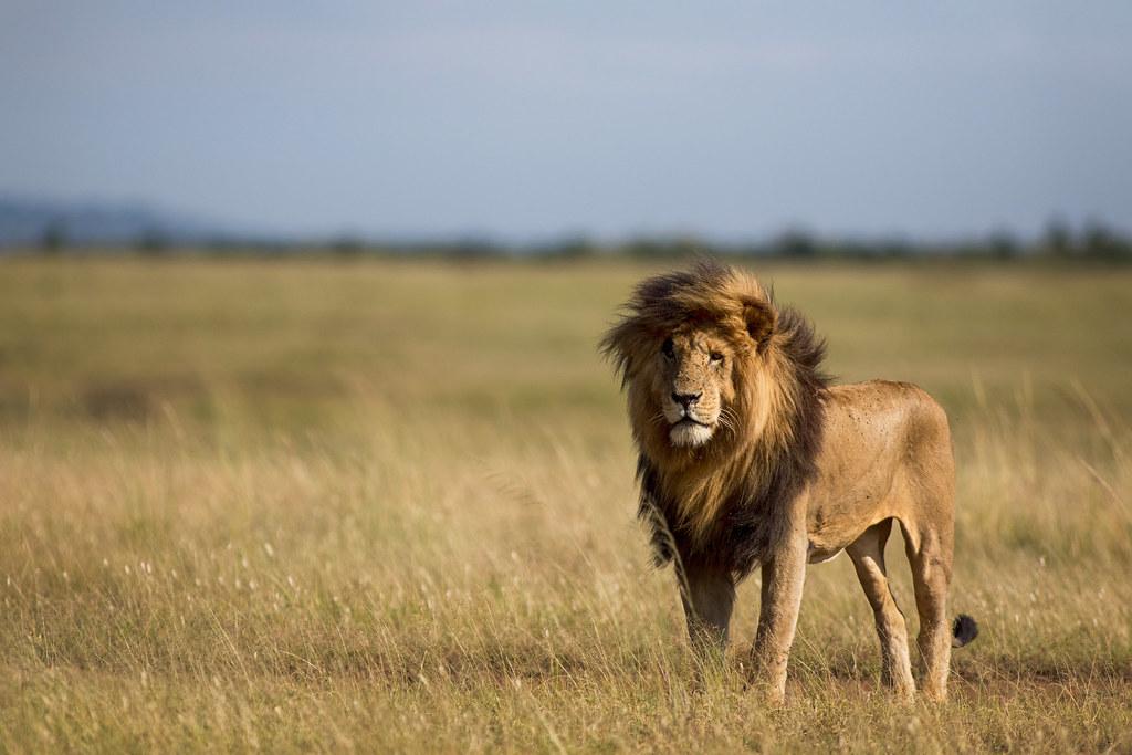 """El Sumario - Murió """"Scarface"""", el león más famoso de una reserva natural de Kenia"""