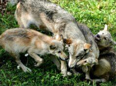 Anunciaron el nacimiento de lobos por primera vez en 80 años en Colorado