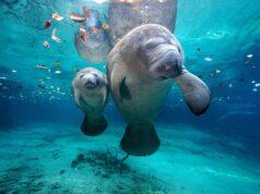 El Sumario - Buscan proteger a la población de manatíes en Florida