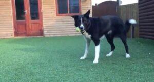 El Sumario - Conoce a Toby, un perro con habilidades futbolísticas