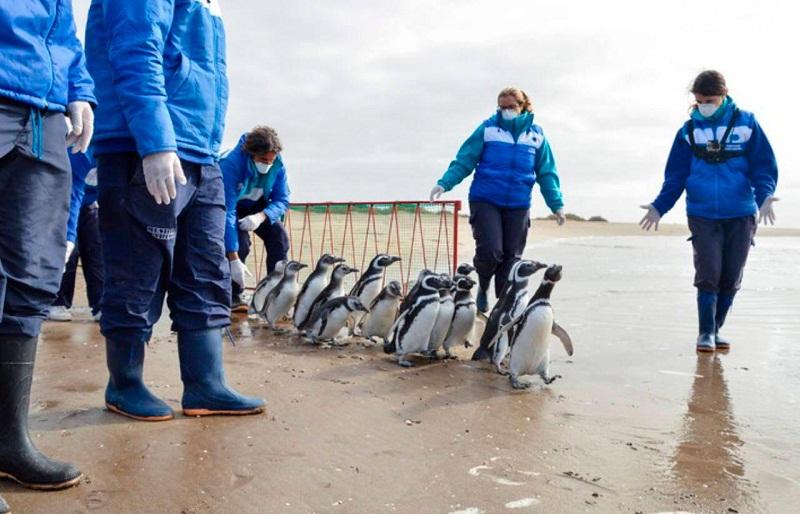 Pingüinos regresan al mar en Argentina tras rehabilitación