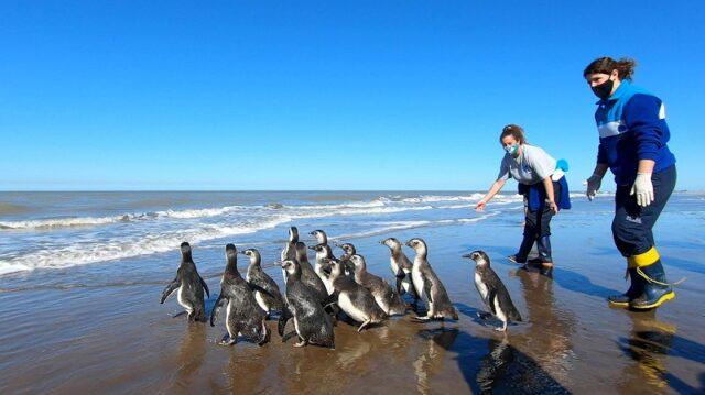 El Sumario - Pingüinos regresan al mar en Argentina tras rehabilitación