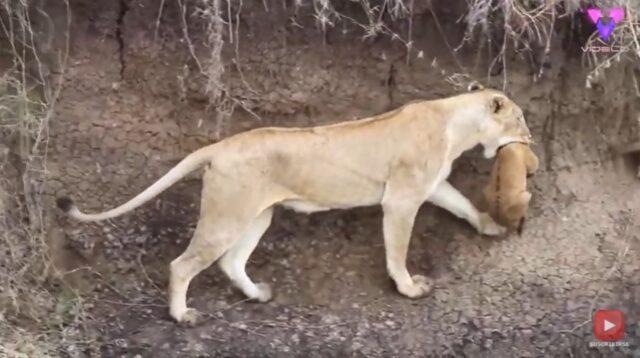 El Sumario - ¡Mamá al rescate! Mira cómo una leona salvó a su cachorro